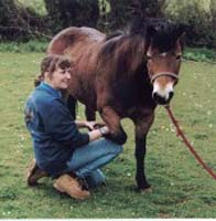 Shiatsu on Darmoor pony